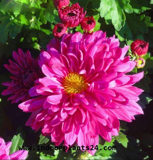 Florist's Chrysanthemum (Chrysanthemum Morifolium) Indoor Plant