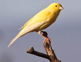 Kelebihan dan Keunggulan Burung Kenari
