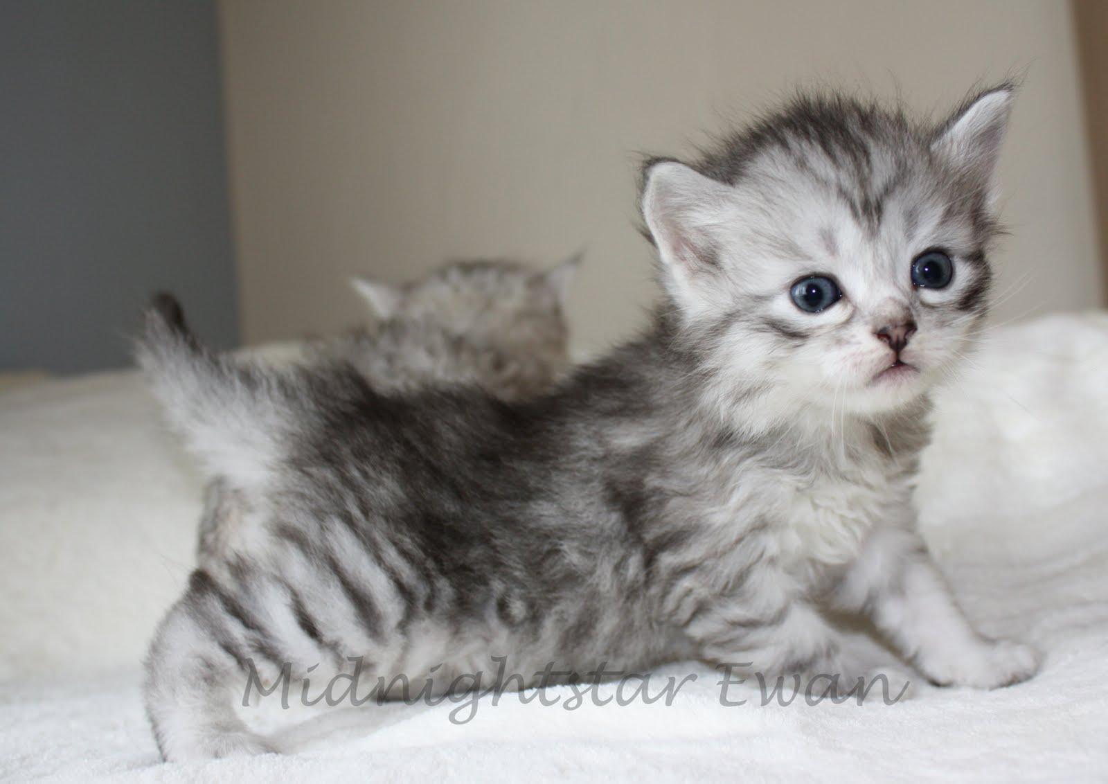 Siberian cat kitten « Nat Geo Adventure | 1600 x 1132 jpeg 104kB