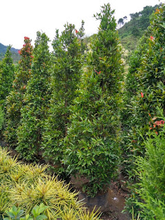 harga jual pohon pucuk merah paling murah