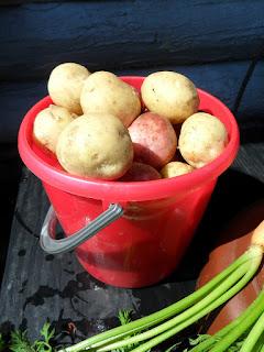 Первый урожай молодого картофеля