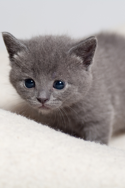 This is a photo of a gray kitten with big blue eyes.