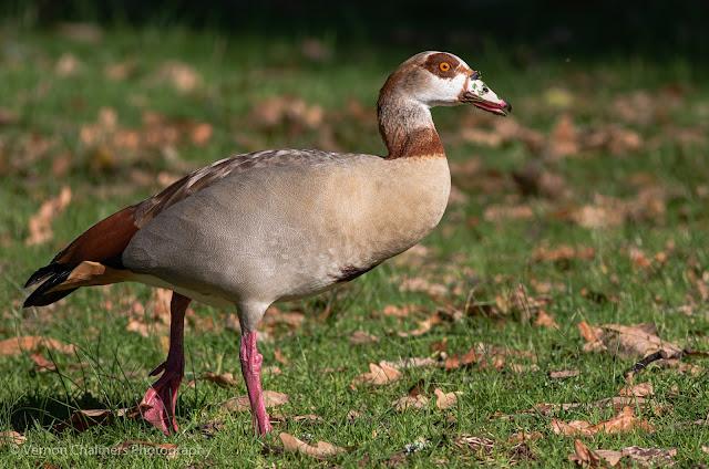 Egyptian Goose Kirstenbosch National Botanical Garden Cape Town Vernon Chalmers Photography