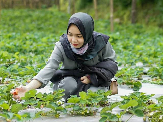 kebun strawberry wisata kaligua