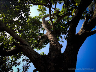 Old Mango Tree Branches In The Morning Sunshine At Ringdikit Farmfield, North Bali, Indonesia