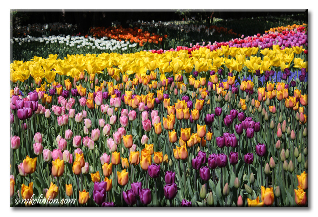 Purple and yellow tulips at Skagit Valley Tulip Festival