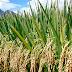 Good News: हिमाचल के लाखों किसानों को अब आधे दाम में मिलेगा बीज