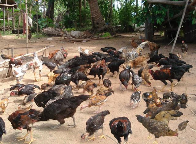 Peluang Usaha Ternak Ayam Rumahan yang Menguntungkan