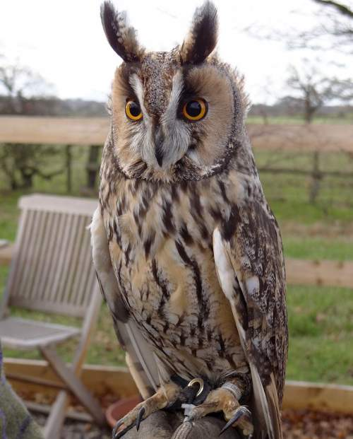 Indian birds - Photo of Northern long-eared owl - Asio otus