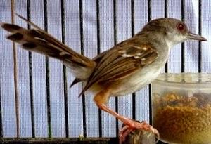 Ciblek yang merupakan burung lokal berpostur kecil sekarang semakin diminati dan sedang ramai CIBLEK MABUNG? INI PERAWATANNYA