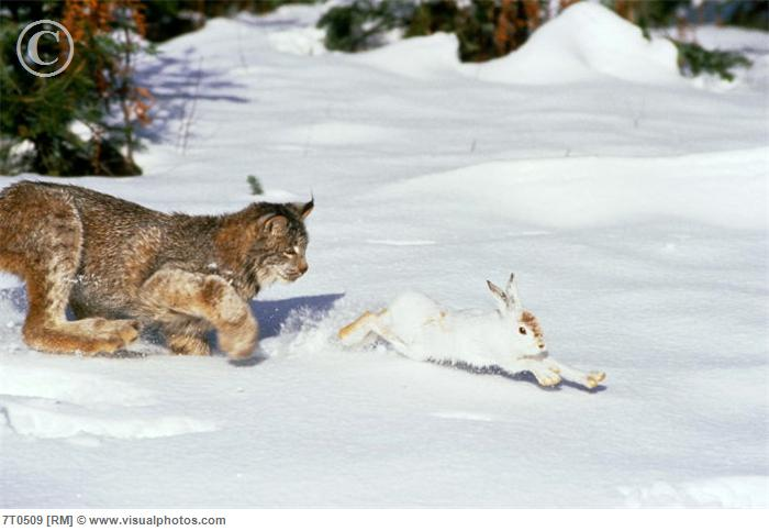 snowshoe hare and lynx relationship memes