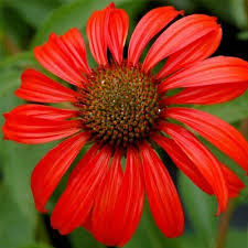 5 Manfaat Bunga Echinacea Bunga Cantik Yang Bisa Tingkatkan Imun Tubuh