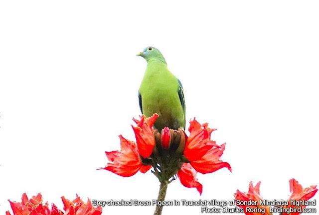 Grey-cheeked Green Pigeon in Tounelet village of Kecamatan Sonder, Minahasa highland, North Sulawesi