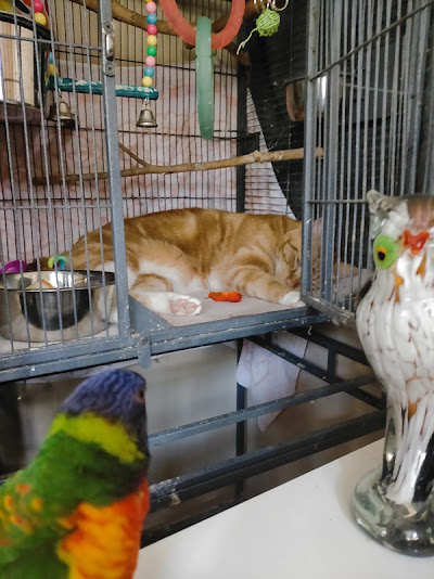 Cat likes to sleep in the bird cage occupied by a bird