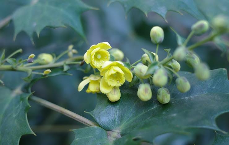 ヒイラギナンテンの黄色い花