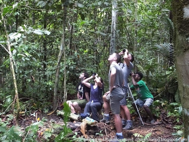 French and Spanish visitors were watching Lesser Birds of Paradise in Susnguakti forest of Manokwari