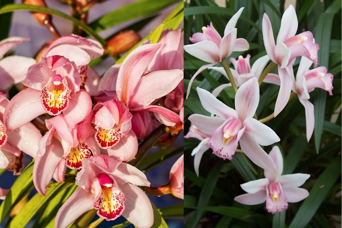 Cymbidiums Orchid Plant Kingdom - What You Need To Expand Effectively