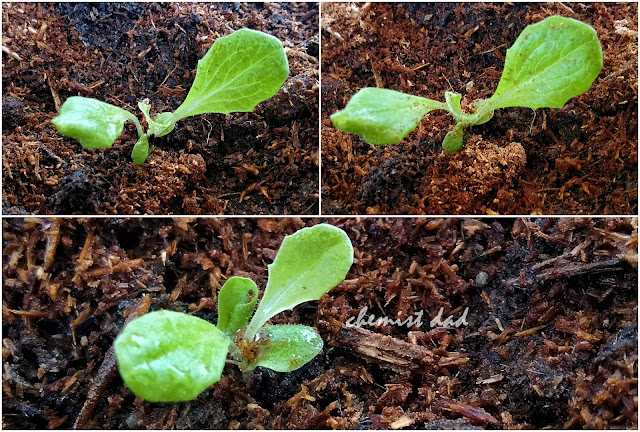 tips on urban gardening, urban gardening, how to grow lettuce, lettuce, organic farming, gardening, home, home and living, varieties of lettuce, kinds of lettuce