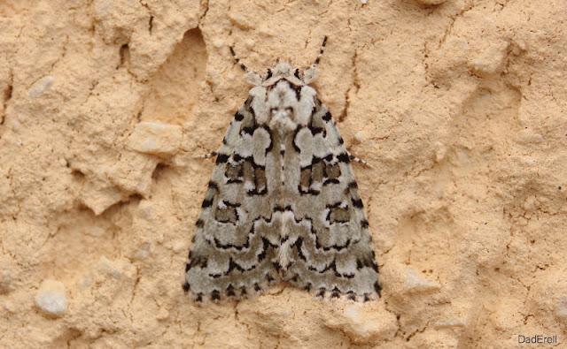 Avrilière, papillon de nuit
