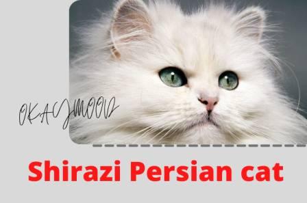 Shirazi Persian cat breeds from Iran city