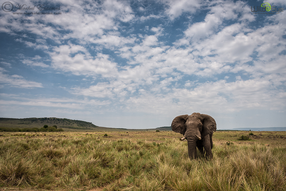 Elephant in the Mara