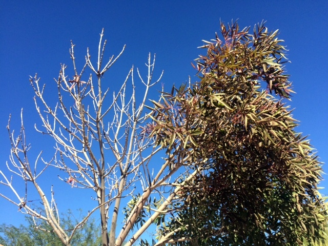 Xtremehorticulture Of The Desert Ash Back Or Decline They Both Kill Tree