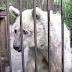 Esse pobre urso foi colocado em uma gaiola oxidada por trinta anos - Observe a reação dele quando é libertado!