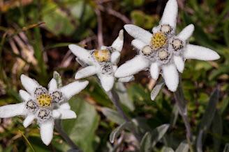 [Asteraceae] Leontopodium alpinum – Edelweiss (Stella alpina)