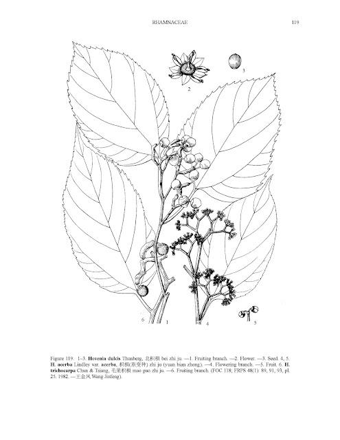 Drzewo rodzynkowe howenia słodka (Hovenia dulcis) acerba jadalne owoc ciekawe rośliny azjatyckie smak mapa zastosowanie uprawa opis w Pl wystepowanie