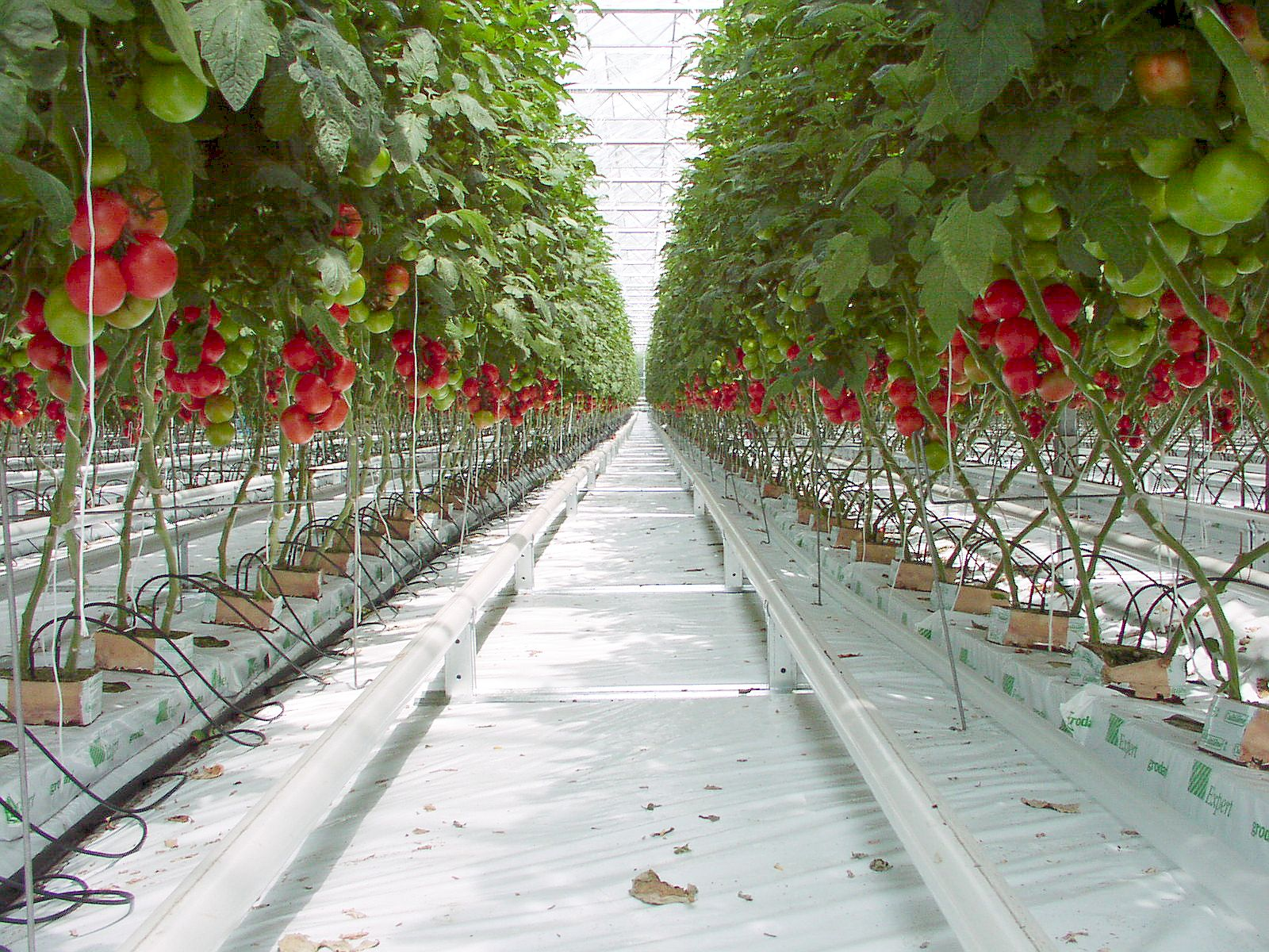 Panduan lengkap tanam tomat hidroponik kebumen how drip atau hidroponik tetes ccuart Images