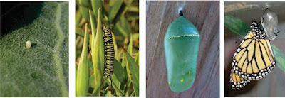Life cycle stages of the Monarch butterfly