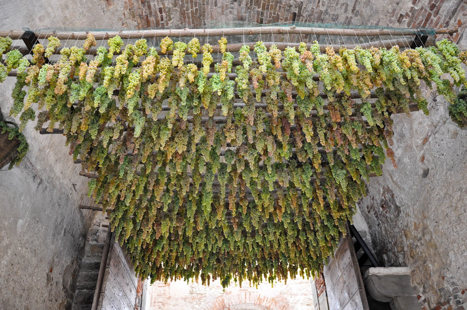 Bunches of grapes hanging under the arch of one of the gates in the defense wall of Soave, Veneto, Italy