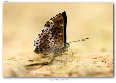 Mariposa brillantina (Lasaia agesilas)