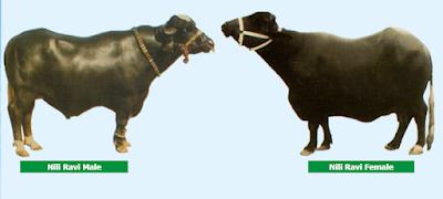 Nili Ravi buffalo breed characteristics