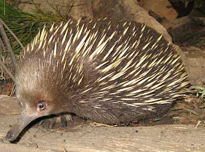 Echidna | Wildlife | The Wildlife