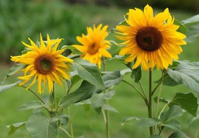 Khasiat Bunga Matahari Untuk Mengobati Disentri Kencing Batu Radang payudara Rematik sakit Kepala Susah Buang Air besar dan kecil