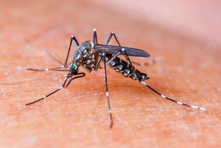 nyamuk demam berdarah menggigit menghisap darah