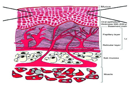 Schematic diagram of the oral mucosa