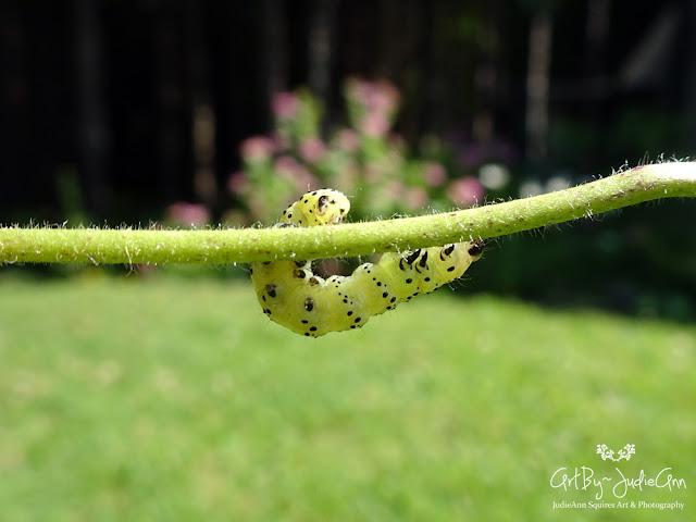 Green Caterpillar Moth Larvae