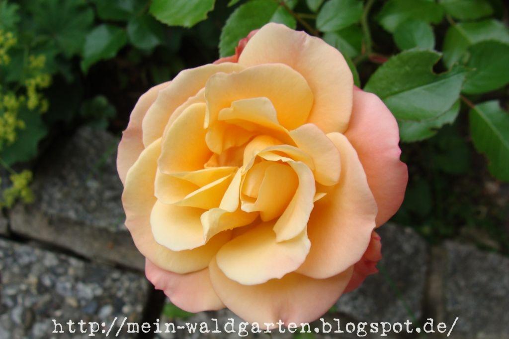 wann schneide ich rosen rosenseminar am um 11 00 14 00 uhr wann und wie schneide ich lavendel. Black Bedroom Furniture Sets. Home Design Ideas