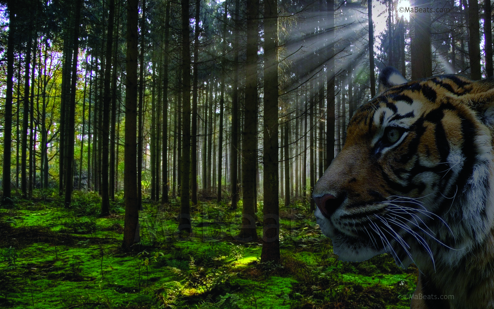 An Indian Tiger looking for shelter in the wild forest