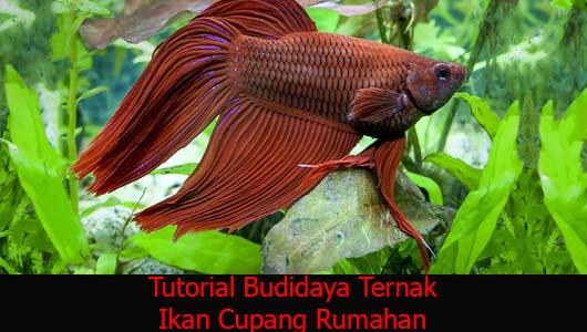 Tutorial Budidaya Ternak Ikan Cupang Rumahan