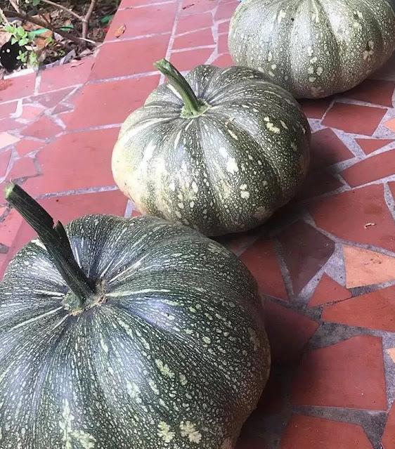 pumpkins from amy medina garden