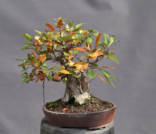 Apple tree, bonsai, dead wood, uro
