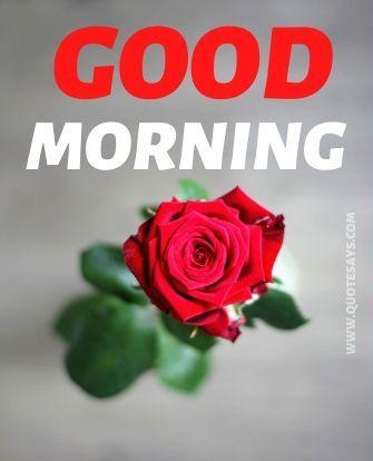 Good morning red rose flower
