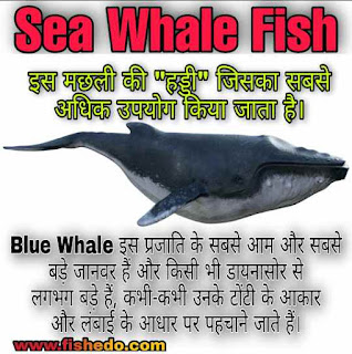 Dwarf Sperm Whale Fish, Baleen Whale Fish,Whale Fish Size,Look like, Found,Live's,Types,Feed, Dangerous animal,Whale Fish Eat Human,Whales are Mammals,Blue whales Interesting Facts & Benefits.