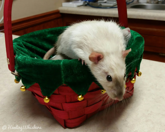 Getting Your Therapy Rat's Health Checked for Evaluation