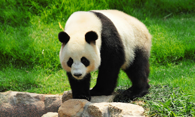 china and the giant panda extinction saved
