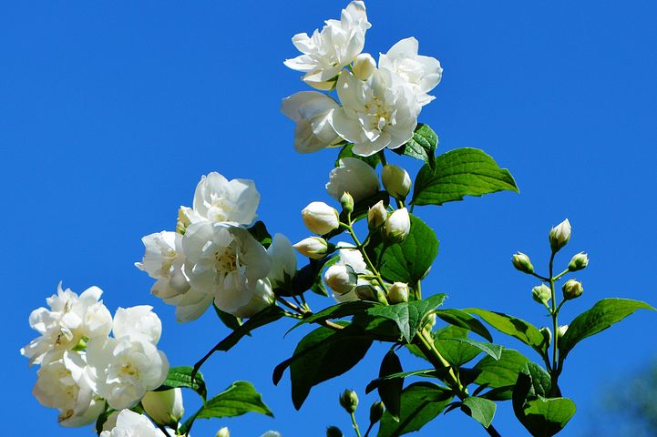 What If Your Flower Does Not Flower On The Jasmine Mogra Plant