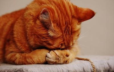 قط أليف يتظاهر بالحزن! في مشهد جد رائع يستحق المشاهدة